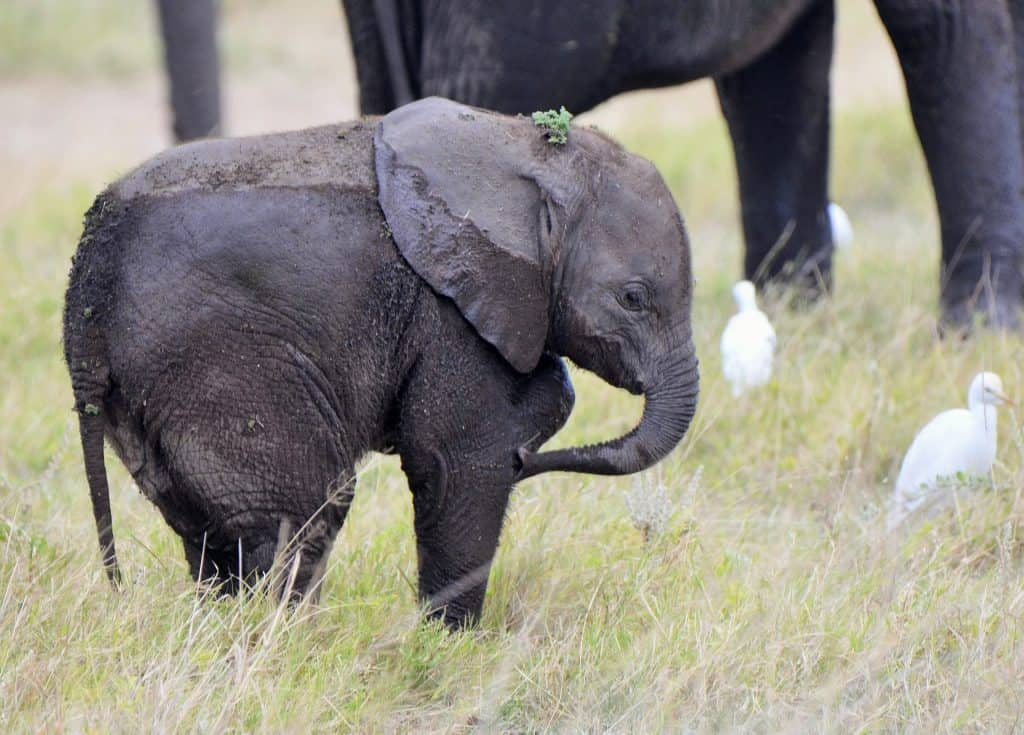 cute baby elephant half covered in water after bathing and surrounded by white birds