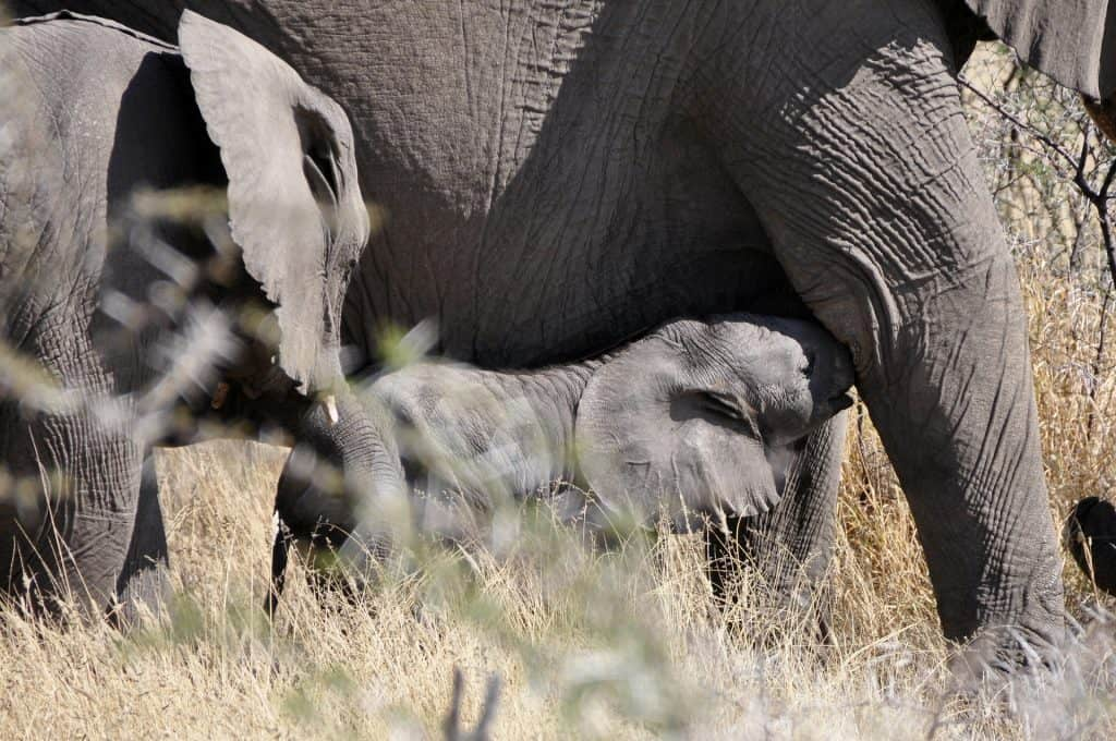 baby elephant calf nuzzling underneath mother elephant as part of herd