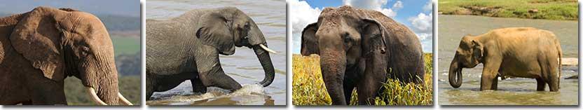 elephant-information
