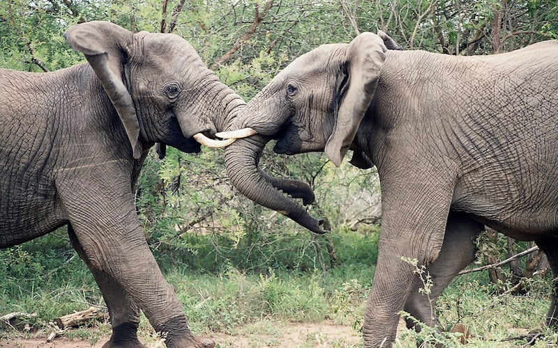 Relaciones sociales de los elefantes.