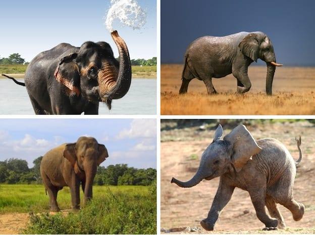 especies_elefantes_624