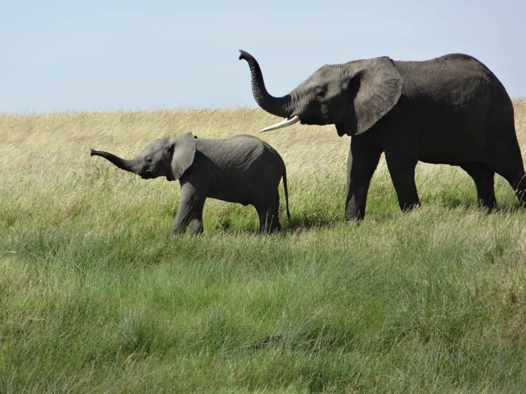 baby elephant and adult elephant trumpeting in unison