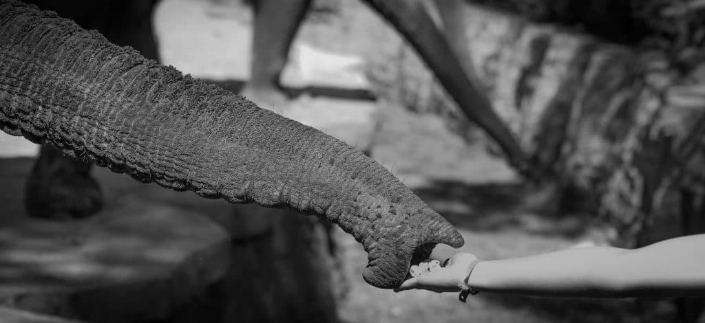 Black and White Image of someone hand feeding an elephant trunk
