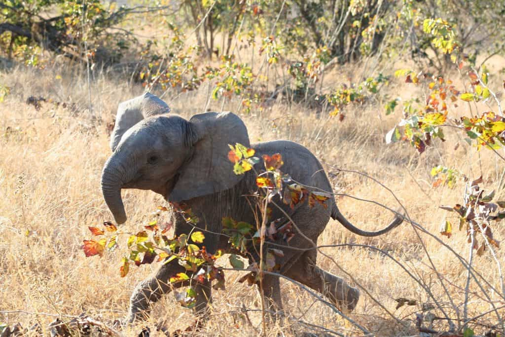 cute baby elephant calf running playfully