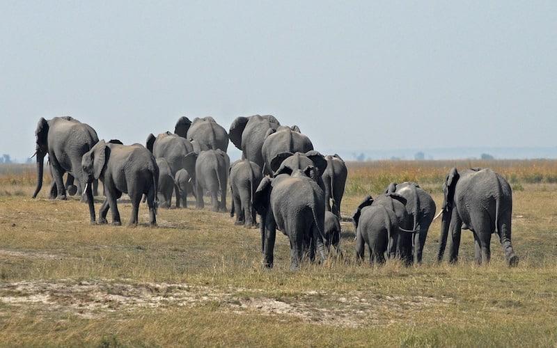Comportamiento social de los elefantes.