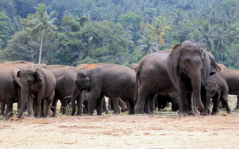 Jerarquía social de los elefantes.