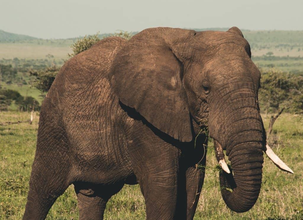 African Elephant Grazing