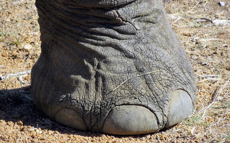 Partes corporales de los elefantes.
