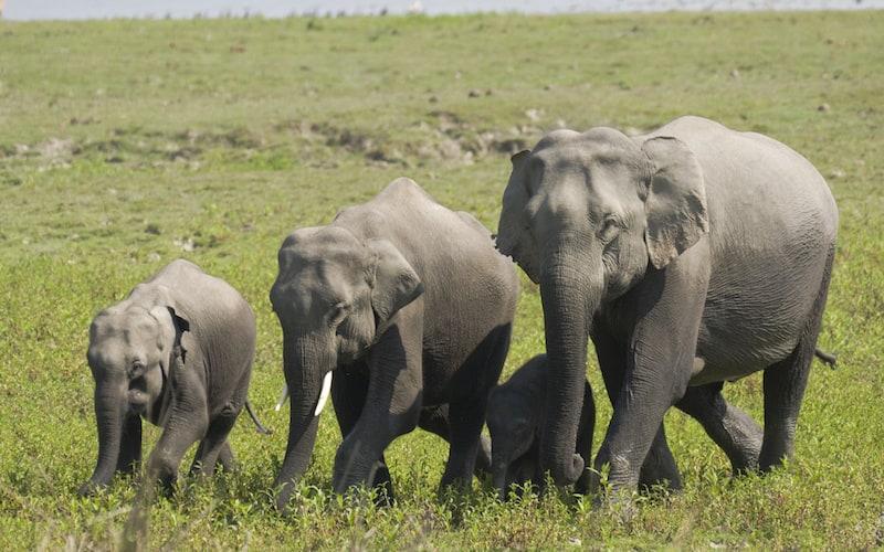 Hábitos reproductivos del elefante asiático.