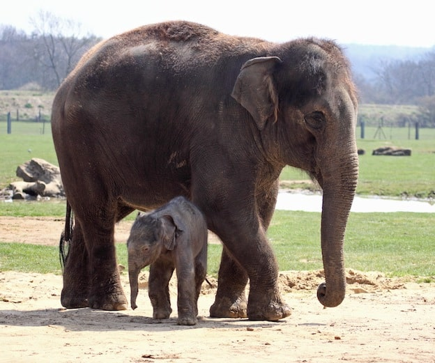 Elephant Breeding