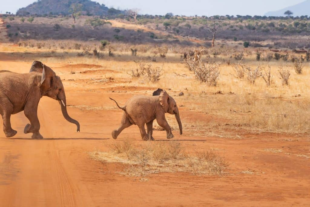 baby elephant playfully running