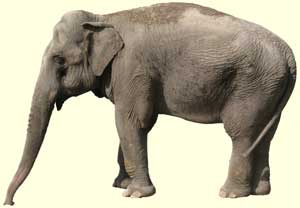 top elephant facts