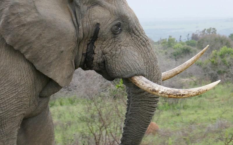 Cazadores furtivos de elefantes.